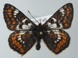 (Euphydryas cynthia - BC ZSM Lep 62384)  @14 [ ] Copyright (2012) Axel Hausmann/Bavarian State Collection of Zoology (ZSM) Bavarian State Collection of Zoology