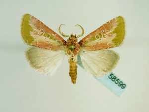 (Xyleninae - BC ZSM Lep 58599)  @15 [ ] Copyright (2012) Axel Hausmann/Bavarian State Collection of Zoology (ZSM) Bavarian State Collection of Zoology