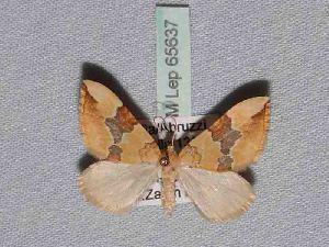 ( - BC ZSM Lep 65637)  @12 [ ] Copyright (2012) Axel Hausmann/Bavarian State Collection of Zoology (ZSM) SNSB, Zoologische Staatssammlung Muenchen