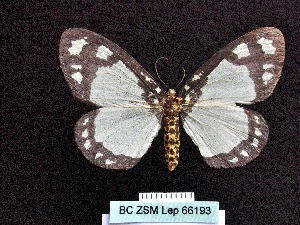(Abraxas punctifera - BC ZSM Lep 66193)  @11 [ ] Copyright (2013) Axel Hausmann/Bavarian State Collection of Zoology (ZSM) SNSB, Zoologische Staatssammlung Muenchen