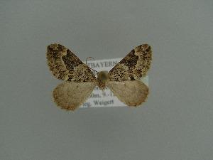 ( - BC ZSM Lep 71265)  @12 [ ] Copyright (2013) Axel Hausmann/Bavarian State Collection of Zoology (ZSM) Bavarian State Collection of Zoology