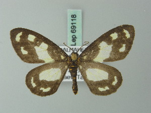 (Abraxas punctifera - BC ZSM Lep 69118)  @11 [ ] Axel Hausmann/Bavarian State Collection of Zoology (ZSM) (2015) Axel Hausmann/Bavarian State Collection of Zoology (ZSM) SNSB, Zoologische Staatssammlung Muenchen
