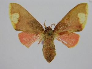 (Pseudepimolis - BC ZSM Lep 92109)  @11 [ ] Axel Hausmann/Bavarian State Collection of Zoology (ZSM) (2015) Axel Hausmann/Bavarian State Collection of Zoology (ZSM) Bavarian State Collection of Zoology