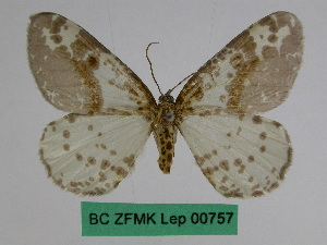 (Abraxas semilivens - BC ZFMK Lep 00757)  @11 [ ] Copyright (2010) Dr. D. Stuening Zoological Research Museum Alexander Koenig