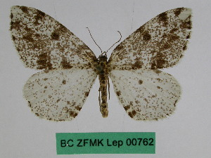(Abraxas celidota - BC ZFMK Lep 00762)  @11 [ ] Copyright (2010) Dr. D. Stuening Zoological Research Museum Alexander Koenig
