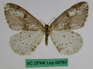 (Abraxas leucaphrodes - BC ZFMK Lep 00767)  @11 [ ] Copyright (2010) Dr. D. Stuening Zoological Research Museum Alexander Koenig