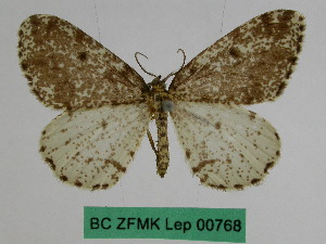 (Abraxas asemographa - BC ZFMK Lep 00768)  @11 [ ] Copyright (2010) Dr. D. Stuening Zoological Research Museum Alexander Koenig