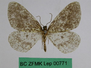 (Abraxas nephodes - BC ZFMK Lep 00771)  @11 [ ] Copyright (2010) Dr. D. Stuening Zoological Research Museum Alexander Koenig