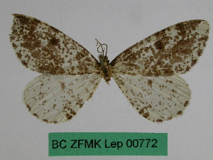 (Abraxas sinopicaria - BC ZFMK Lep 00772)  @13 [ ] Copyright (2010) Dr. D. Stuening Zoological Research Museum Alexander Koenig