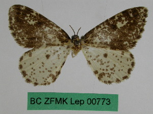 (Abraxas calypta - BC ZFMK Lep 00773)  @11 [ ] Copyright (2010) Dr. D. Stuening Zoological Research Museum Alexander Koenig