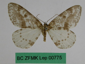 (Abraxas syngenica - BC ZFMK Lep 00775)  @11 [ ] Copyright (2010) Dr. D. Stuening Zoological Research Museum Alexander Koenig