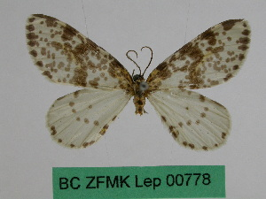 (Abraxas pauxilla - BC ZFMK Lep 00778)  @11 [ ] Copyright (2010) Dr. D. Stuening Zoological Research Museum Alexander Koenig