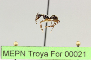 (Camponotus sp. 8 - MEPN Troya For 00021)  @11 [ ] Copyright (2012) Adrian Troya MEPN