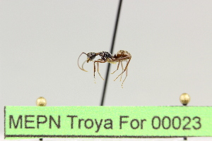 (Camponotus sp. 8 - MEPN Troya For 00023)  @11 [ ] Copyright (2012) Adrian Troya MEPN