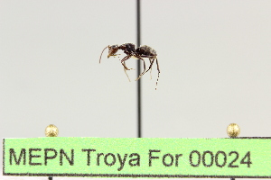 (Camponotus sp. 9 - MEPN Troya For 00024)  @12 [ ] Copyright (2012) Adrian Troya MEPN
