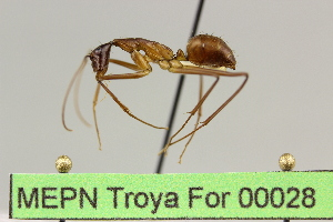 (Camponotus sp. 10 - MEPN Troya For 00028)  @14 [ ] Copyright (2012) Adrian Troya MEPN