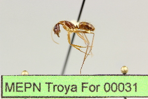 (Camponotus sp. 11 - MEPN Troya For 00031)  @11 [ ] Copyright (2012) Adrian Troya MEPN