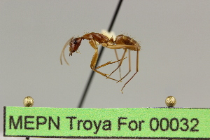 (Camponotus sp. 11 - MEPN Troya For 00032)  @11 [ ] Copyright (2012) Adrian Troya MEPN