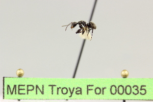 (Camponotus sp. 13 - MEPN Troya For 00035)  @11 [ ] Copyright (2012) Adrian Troya MEPN