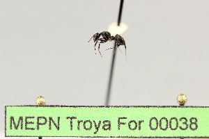 (Camponotus sp. 13 - MEPN Troya For 00038)  @11 [ ] Copyright (2012) Adrian Troya MEPN