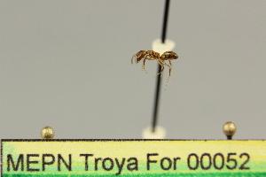 (Dolichoderus lugens - MEPN Troya For 00052)  @11 [ ] Copyright (2012) Adrian Troya MEPN