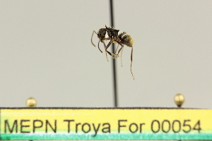 (Dolichoderus superaculus - MEPN Troya For 00054)  @11 [ ] Copyright (2012) Adrian Troya MEPN