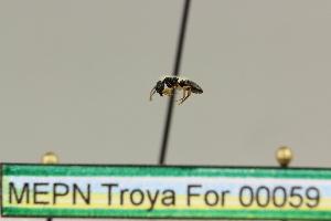 (Dolichoderus sp. 3 - MEPN Troya For 00059)  @11 [ ] Copyright (2012) Adrian Troya MEPN