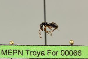 (Pachycondyla carinulata - MEPN Troya For 00066)  @13 [ ] Copyright (2012) Adrian Troya MEPN