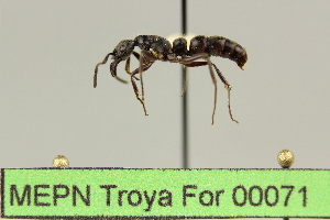 (Pachycondyla sp. 1 - MEPN Troya For 00071)  @13 [ ] Copyright (2012) Adrian Troya MEPN