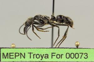 (Pachycondyla inversa - MEPN Troya For 00073)  @14 [ ] Copyright (2012) Adrian Troya MEPN