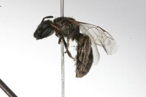 (Dialictus - MACN-En 9780)  @14 [ ] Copyright (2012) MACN Museo Argentino de Ciencias Naturales