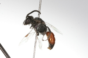 (Sphecodes rgv 1 - MACN-En 9781)  @13 [ ] Copyright (2012) MACN Museo Argentino de Ciencias Naturales