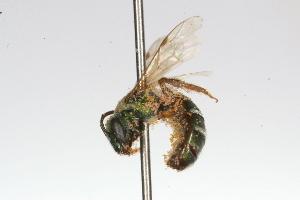 (Thectochlora - MACN-En 9818)  @13 [ ] Copyright (2012) MACN Museo Argentino de Ciencias Naturales