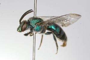 (Pseudaugochlora - MACN-En 9816)  @14 [ ] Copyright (2012) MACN Museo Argentino de Ciencias Naturales