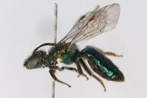 (Caenohalictus - MACN-En 8285)  @15 [ ] Copyright (2011) MACN Museo Argentino de Ciencias Naturales