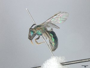 "(Augochlorella rgv 1 - MACN-En 21879)  @11 [ ] Copyright (2016) Luis Compagnucci Museo Argentino de Ciencias Naturales ""Bernardino Rivadavia"""