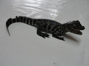 (Crocodilia - HARG-32)  @11 [ ] Unspecified (default): All Rights Reserved  Unspecified Unspecified