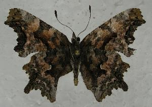 (Polygonia faunus - 612NK-JB956)  @14 [ ] Unspecified (default): All Rights Reserved  Unspecified Unspecified