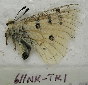 (Parnassius behrii - 611NK-TK1)  @13 [ ] Unspecified (default): All Rights Reserved  Unspecified Unspecified