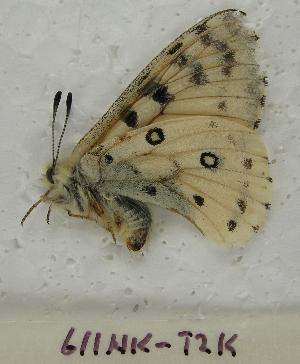 (Parnassius behrii - 611NK-TK2)  @13 [ ] Unspecified (default): All Rights Reserved  Unspecified Unspecified