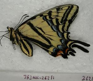 (Papilio multicaudatus - 763NK-26211)  @13 [ ] Unspecified (default): All Rights Reserved  Unspecified Unspecified