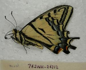(Papilio multicaudatus - 763NK-26212)  @13 [ ] Unspecified (default): All Rights Reserved  Unspecified Unspecified