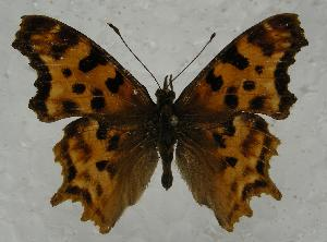 (Polygonia satyrus - 763NK-DT1)  @14 [ ] Unspecified (default): All Rights Reserved  Unspecified Unspecified