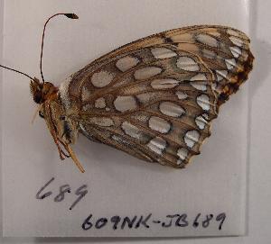 (Speyeria edwardsii - 609NK-JB689)  @13 [ ] Unspecified (default): All Rights Reserved  Unspecified Unspecified