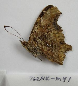 (Polygonia calbum - 762NK-MY1)  @13 [ ] Unspecified (default): All Rights Reserved  Unspecified Unspecified