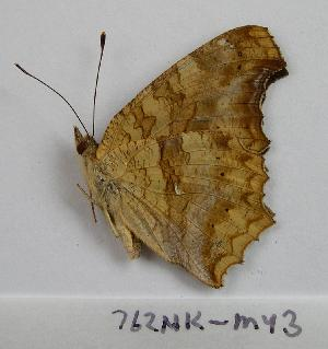 (Polygonia aureum - 762NK-MY3)  @13 [ ] Unspecified (default): All Rights Reserved  Unspecified Unspecified