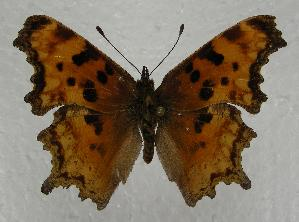 (Polygonia oreas - 612NK-JS1)  @14 [ ] Unspecified (default): All Rights Reserved  Unspecified Unspecified