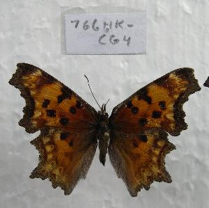 (Polygonia gracilis - 766NK-CG4)  @14 [ ] Unspecified (default): All Rights Reserved  Unspecified Unspecified