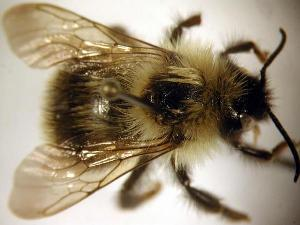 (Bombus fernaldae - Bee25-14)  @15 [ ] Copyright (2010) Unspecified Unspecified
