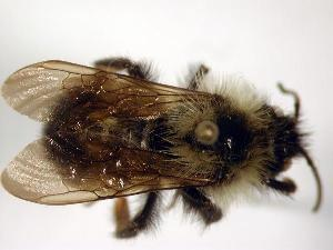 (Bombus citrinus - Bee25-21)  @15 [ ] Copyright (2010) Unspecified Unspecified